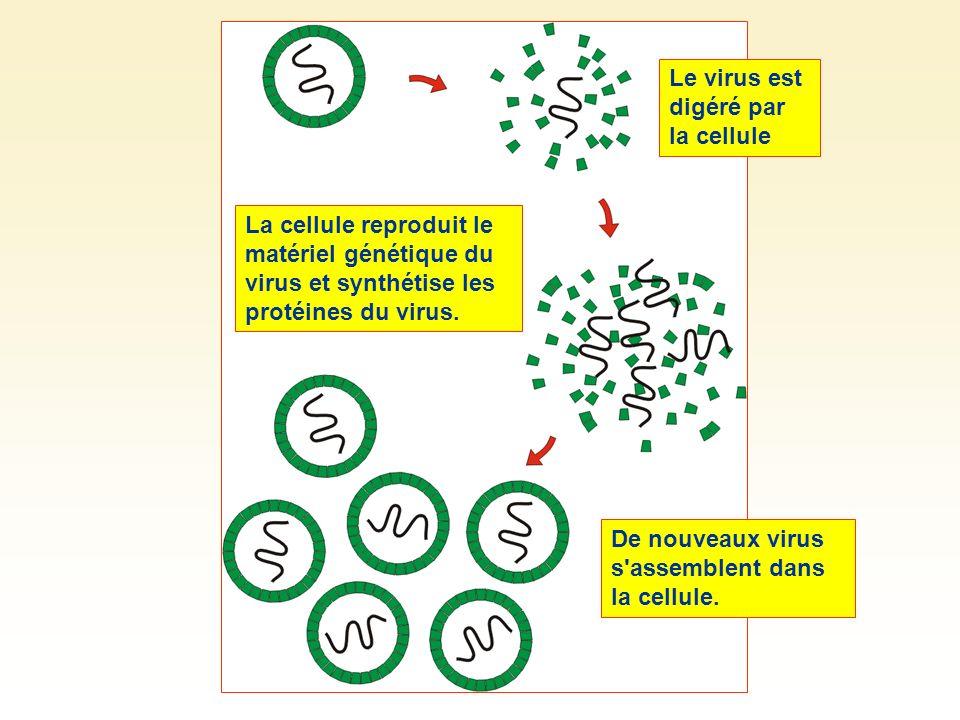 Le virus est digéré par la cellule
