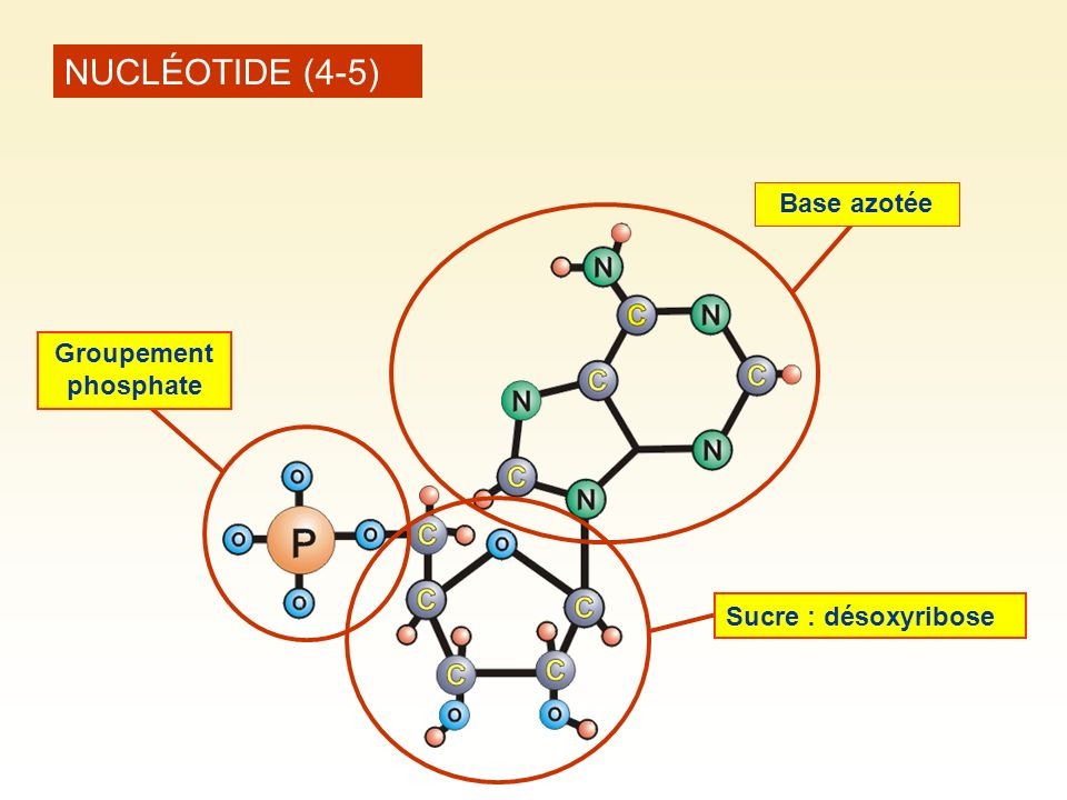 NUCLÉOTIDE (4-5) Base azotée Groupement phosphate Sucre : désoxyribose