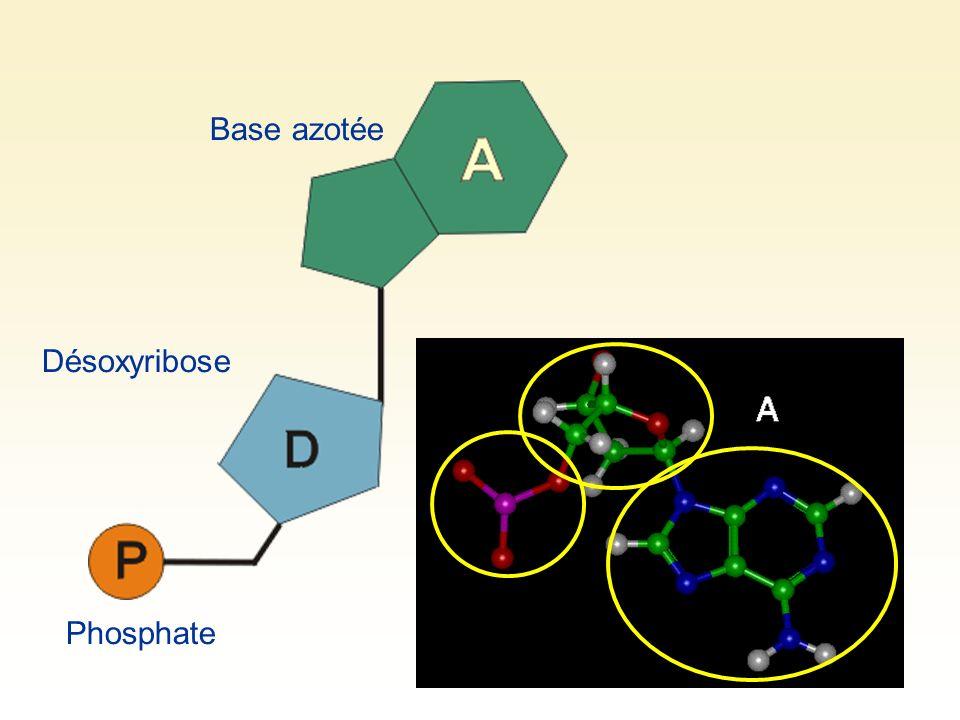 Base azotée Désoxyribose Phosphate