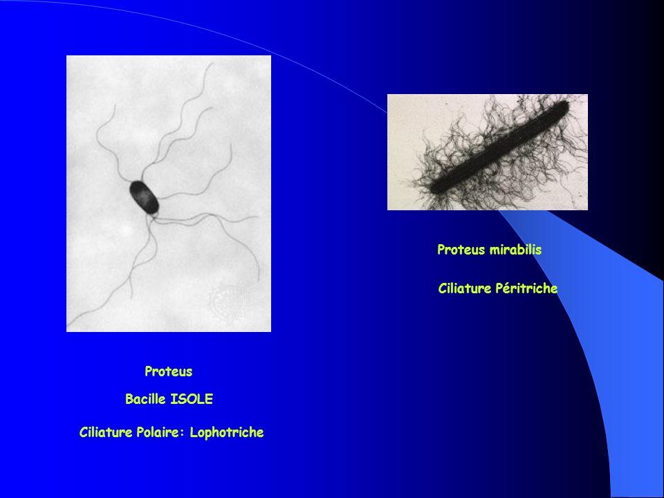 Ciliature Polaire: Lophotriche