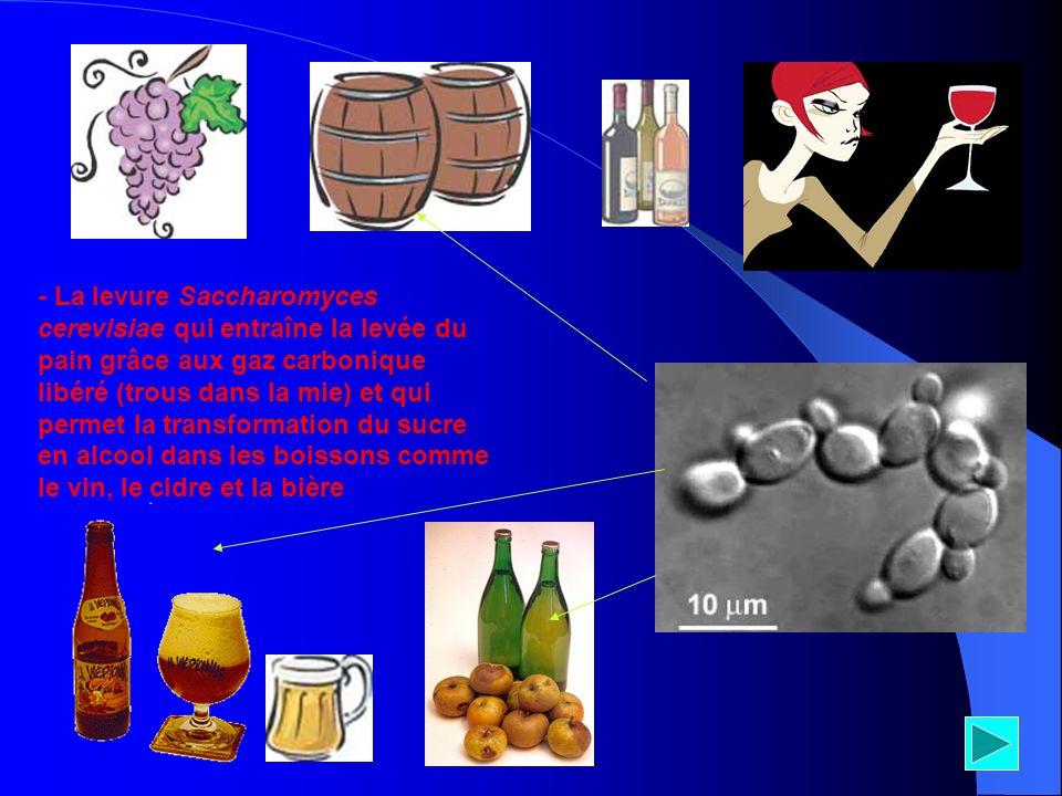 - La levure Saccharomyces cerevisiae qui entraîne la levée du pain grâce aux gaz carbonique libéré (trous dans la mie) et qui permet la transformation du sucre en alcool dans les boissons comme le vin, le cidre et la bière