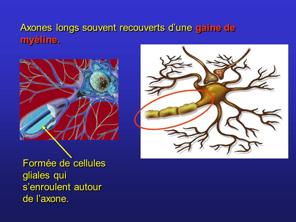 Axones longs souvent recouverts d'une gaine de myéline.