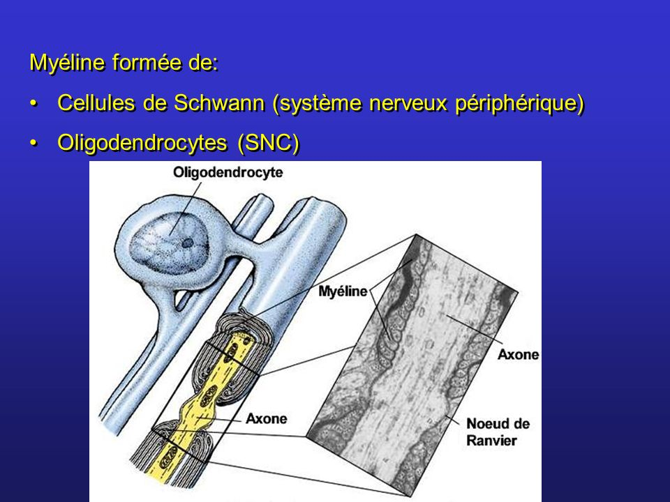 Myéline formée de: Cellules de Schwann (système nerveux périphérique) Oligodendrocytes (SNC)