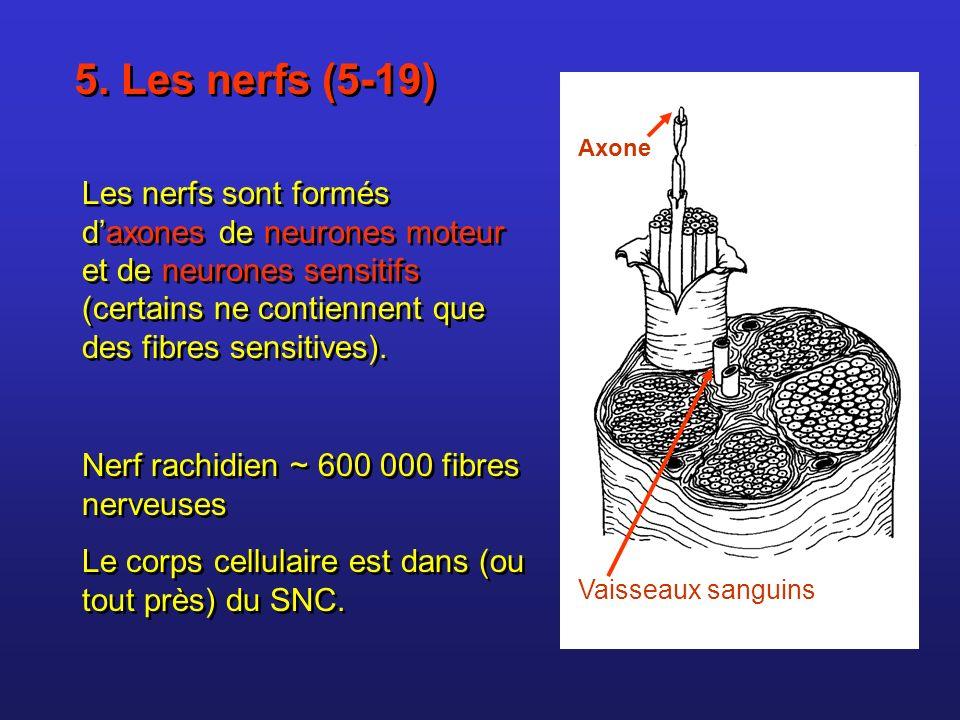 5. Les nerfs (5-19) Axone.