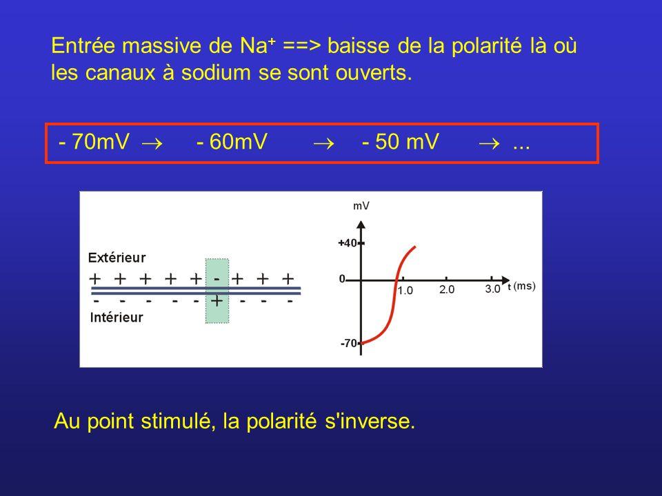 Entrée massive de Na+ ==> baisse de la polarité là où les canaux à sodium se sont ouverts.