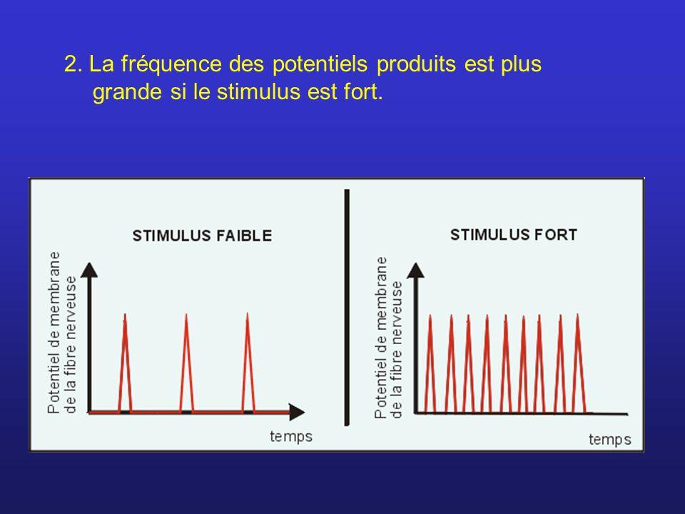 2. La fréquence des potentiels produits est plus grande si le stimulus est fort.