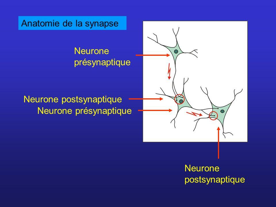 Anatomie de la synapseNeurone présynaptique.Neurone postsynaptique.