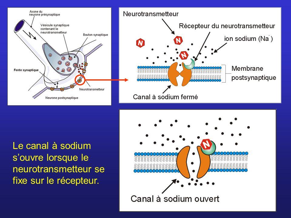 Le canal à sodium s'ouvre lorsque le neurotransmetteur se fixe sur le récepteur.