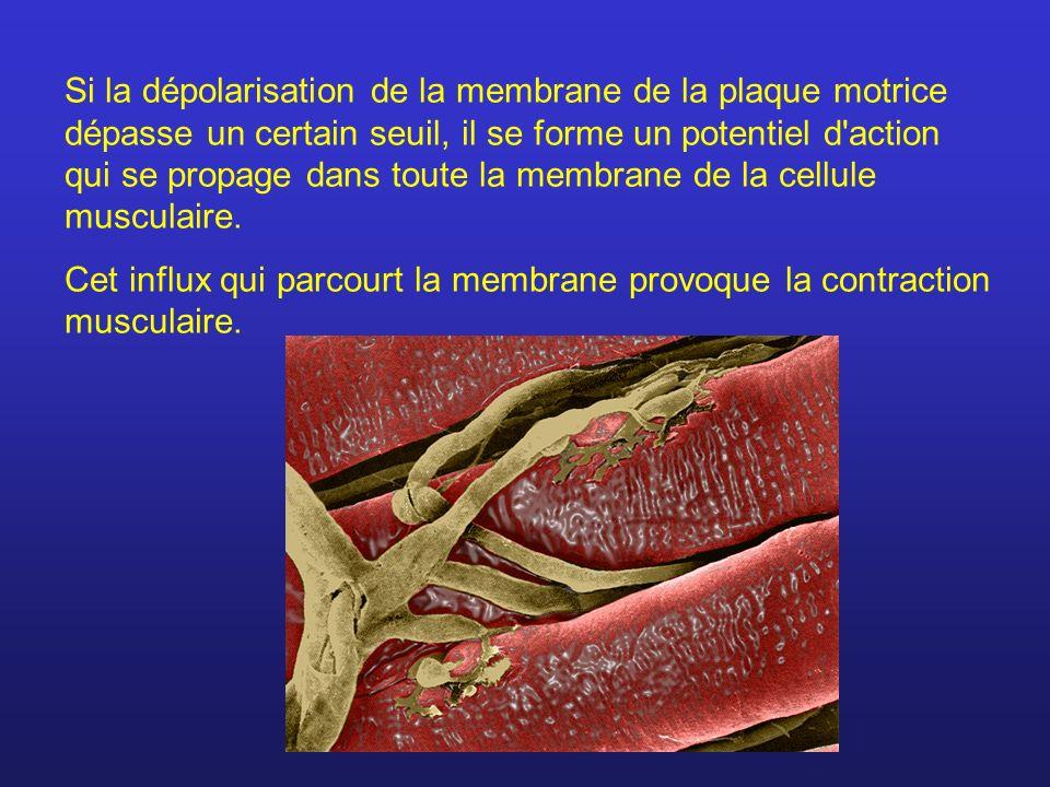 Si la dépolarisation de la membrane de la plaque motrice dépasse un certain seuil, il se forme un potentiel d action qui se propage dans toute la membrane de la cellule musculaire.