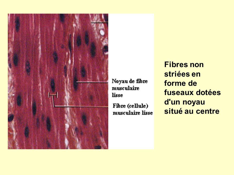 Fibres non striées en forme de fuseaux dotées d un noyau situé au centre