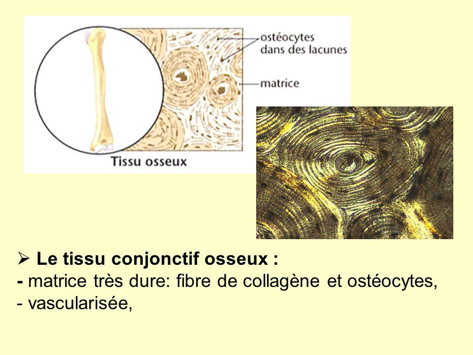  Le tissu conjonctif osseux : - matrice très dure: fibre de collagène et ostéocytes, - vascularisée,