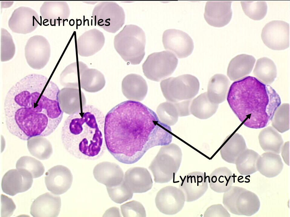 Neutrophiles Lymphocytes