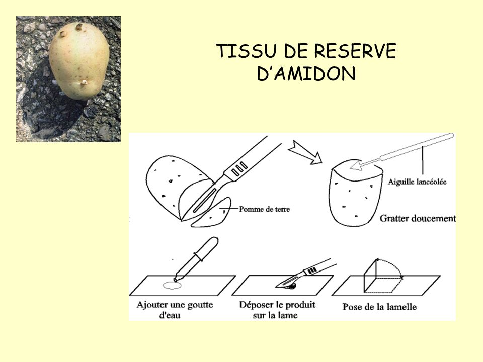TISSU DE RESERVE D'AMIDON