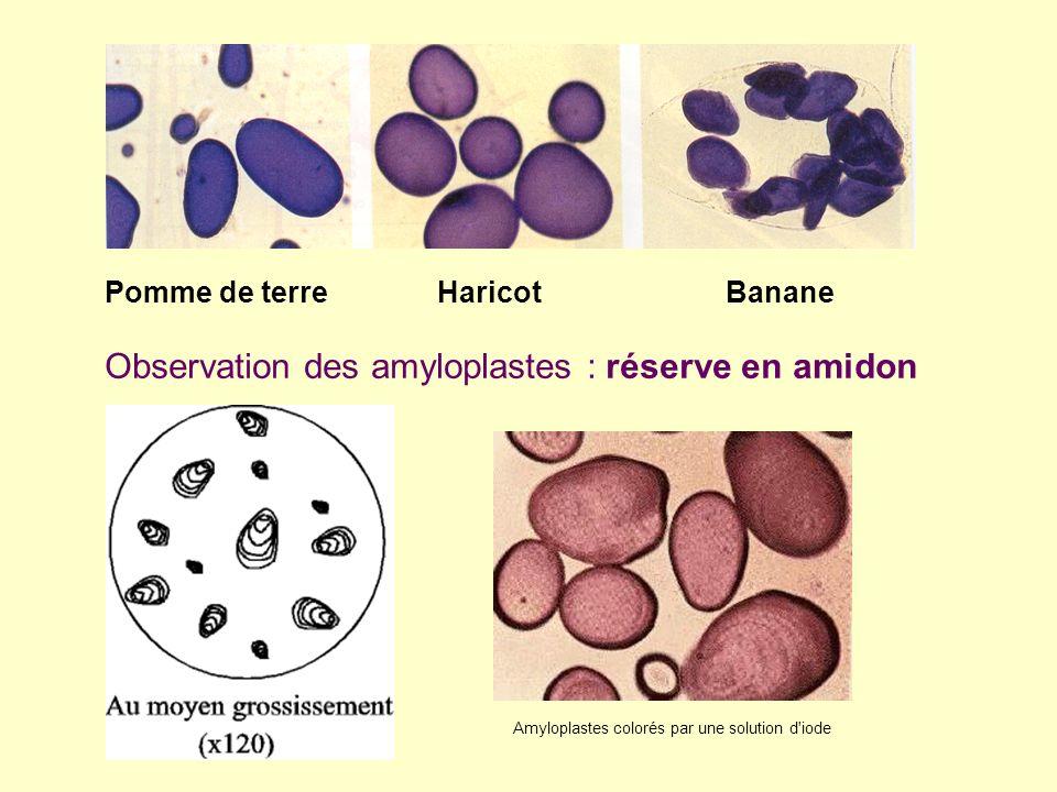 Observation des amyloplastes : réserve en amidon