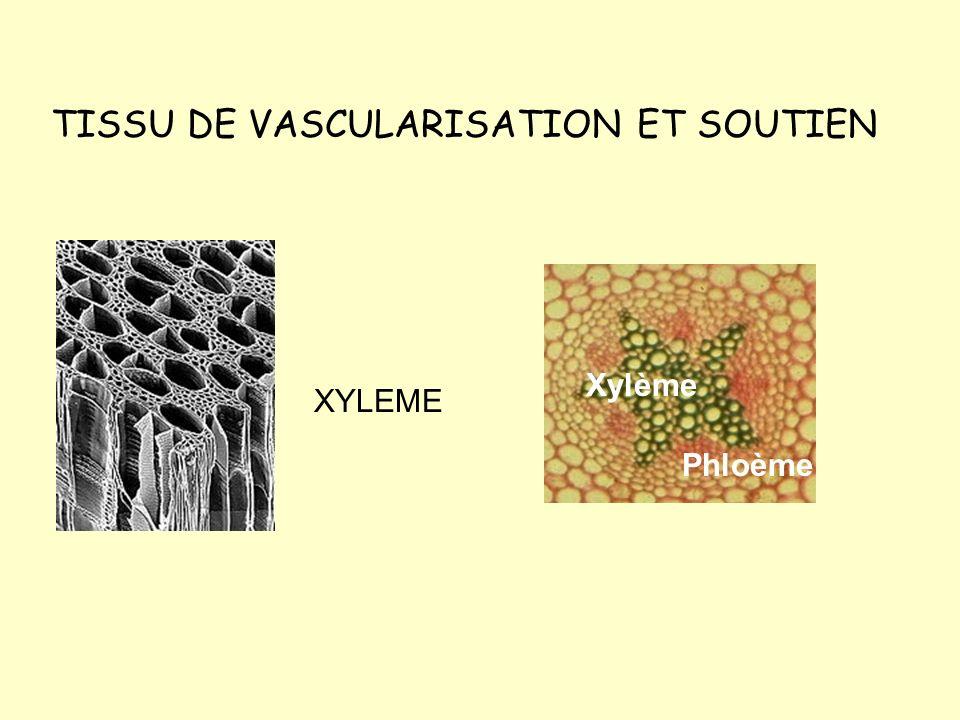 TISSU DE VASCULARISATION ET SOUTIEN