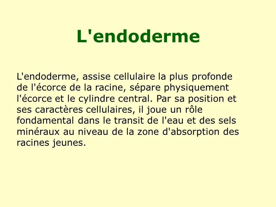 L endoderme