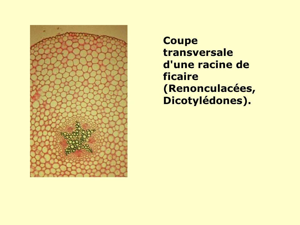 Coupe transversale d une racine de ficaire (Renonculacées, Dicotylédones).