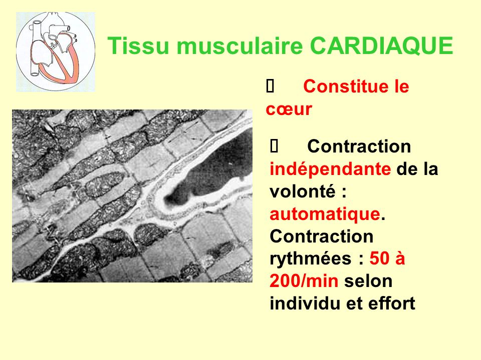 Tissu musculaire CARDIAQUE