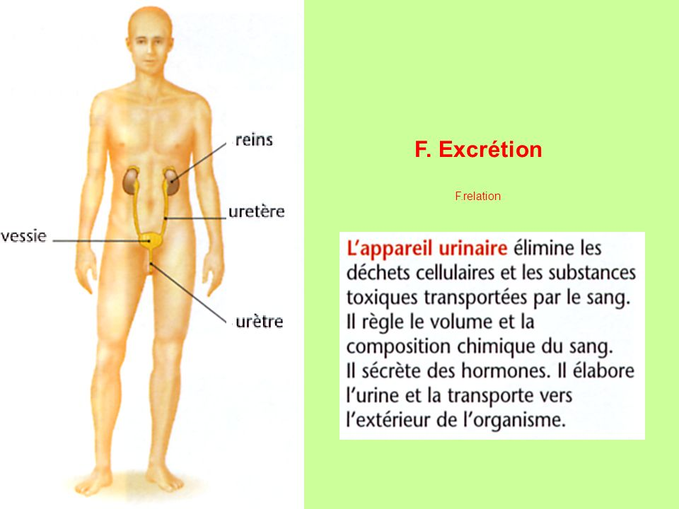 F. Excrétion F.relation