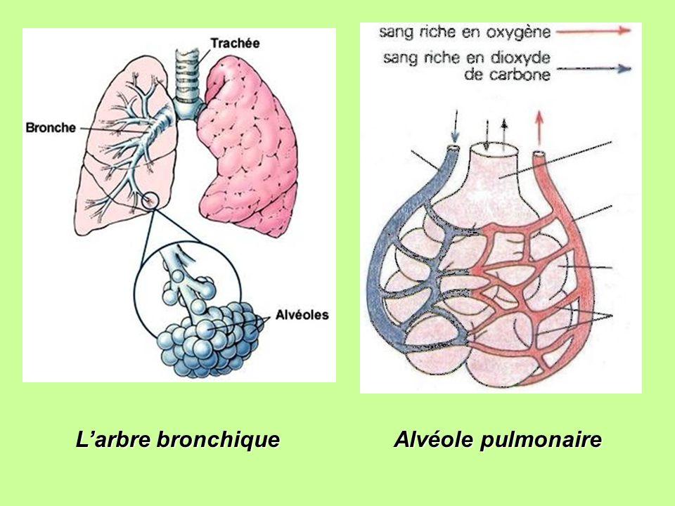 L'arbre bronchique Alvéole pulmonaire