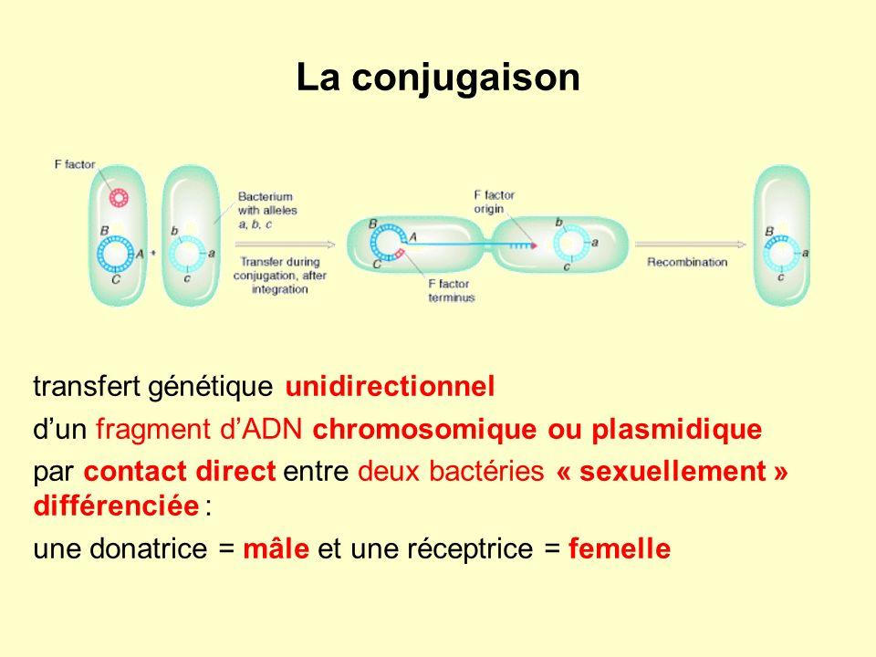 La conjugaison transfert génétique unidirectionnel