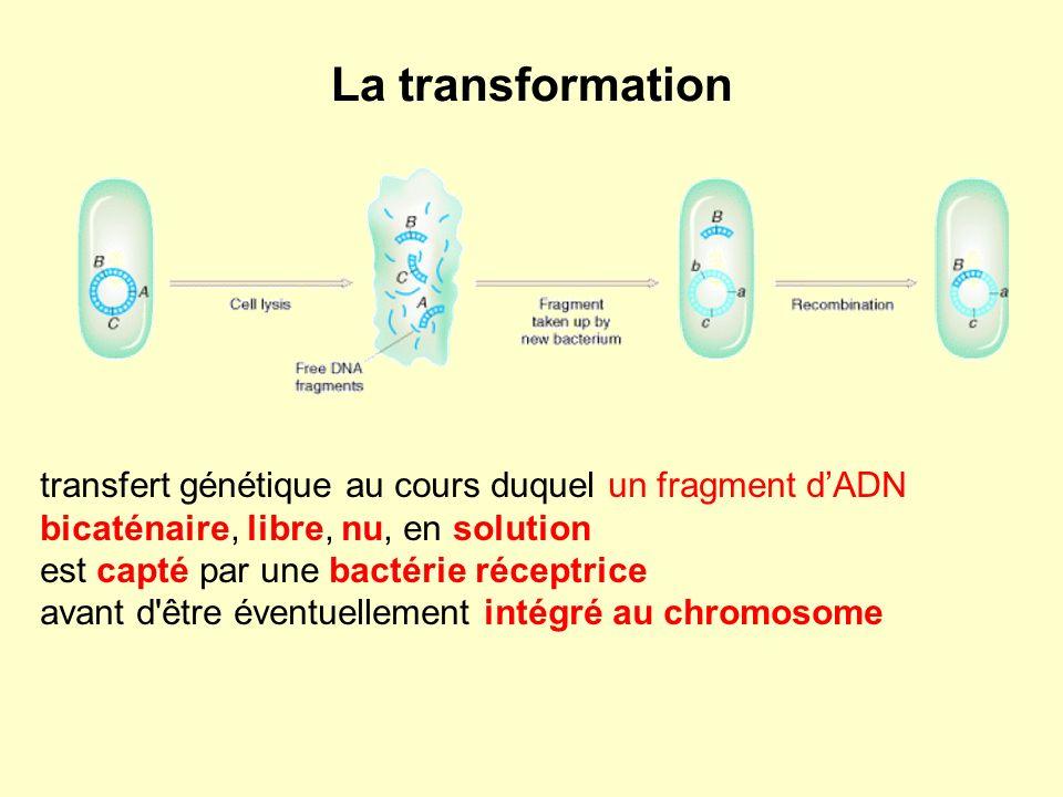 La transformation transfert génétique au cours duquel un fragment d'ADN. bicaténaire, libre, nu, en solution.
