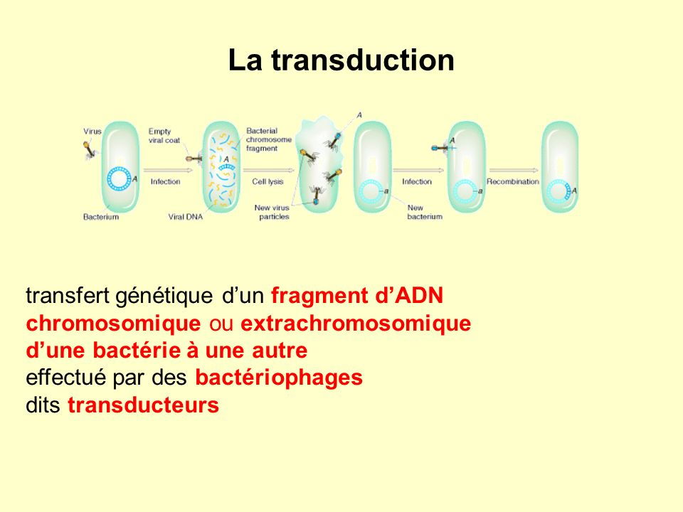 La transduction transfert génétique d'un fragment d'ADN