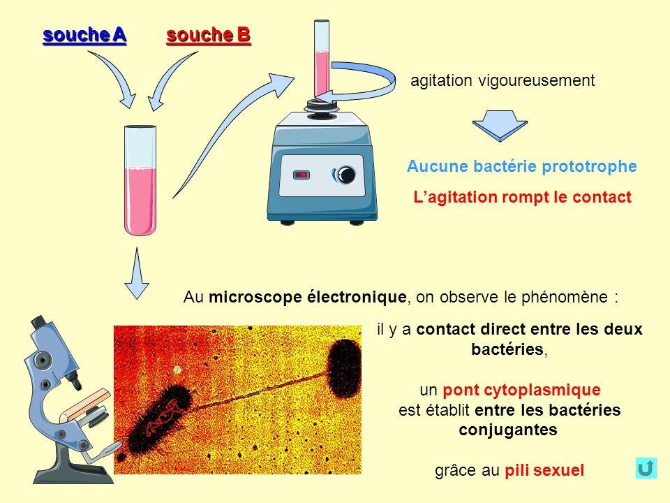 Aucune bactérie prototrophe L'agitation rompt le contact