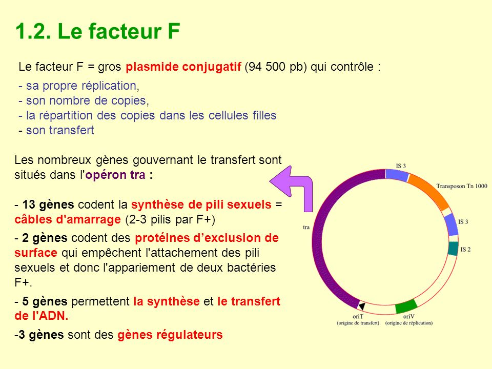 1.2. Le facteur F Le facteur F = gros plasmide conjugatif (94 500 pb) qui contrôle : sa propre réplication,
