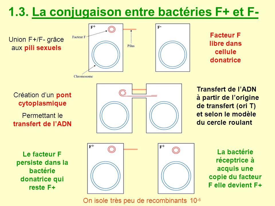 1.3. La conjugaison entre bactéries F+ et F-