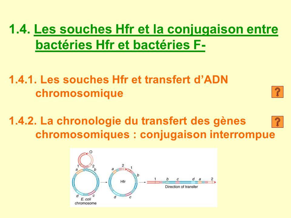 1.4. Les souches Hfr et la conjugaison entre bactéries Hfr et bactéries F-