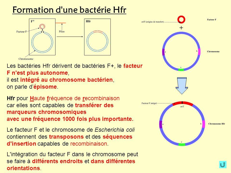 Formation d une bactérie Hfr