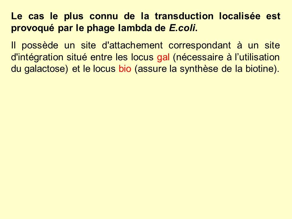 Le cas le plus connu de la transduction localisée est provoqué par le phage lambda de E.coli.