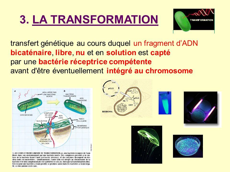 3. LA TRANSFORMATION transfert génétique au cours duquel un fragment d'ADN bicaténaire, libre, nu et en solution est capté.