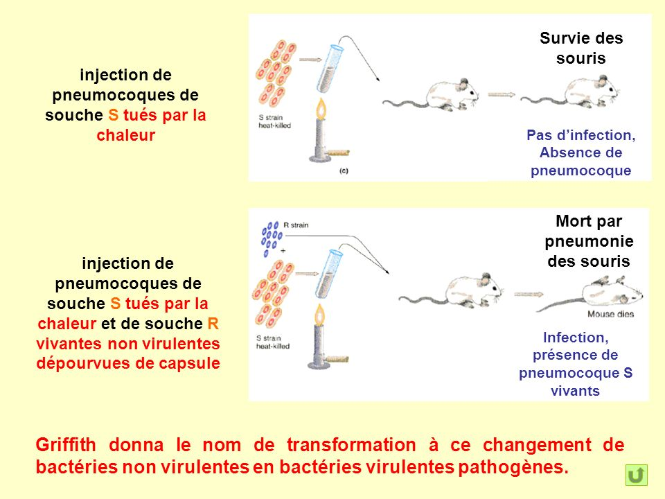 Survie des souris injection de pneumocoques de souche S tués par la chaleur. Pas d'infection, Absence de pneumocoque.