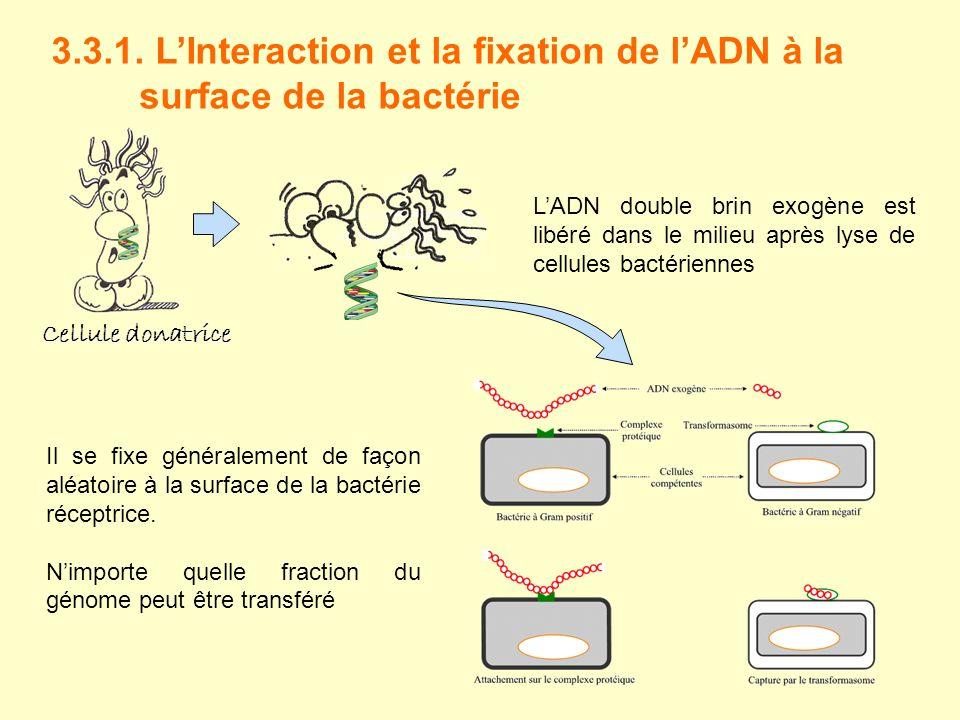 3.3.1. L'Interaction et la fixation de l'ADN à la surface de la bactérie