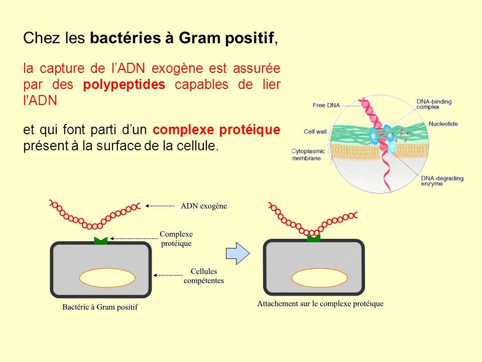 Chez les bactéries à Gram positif,