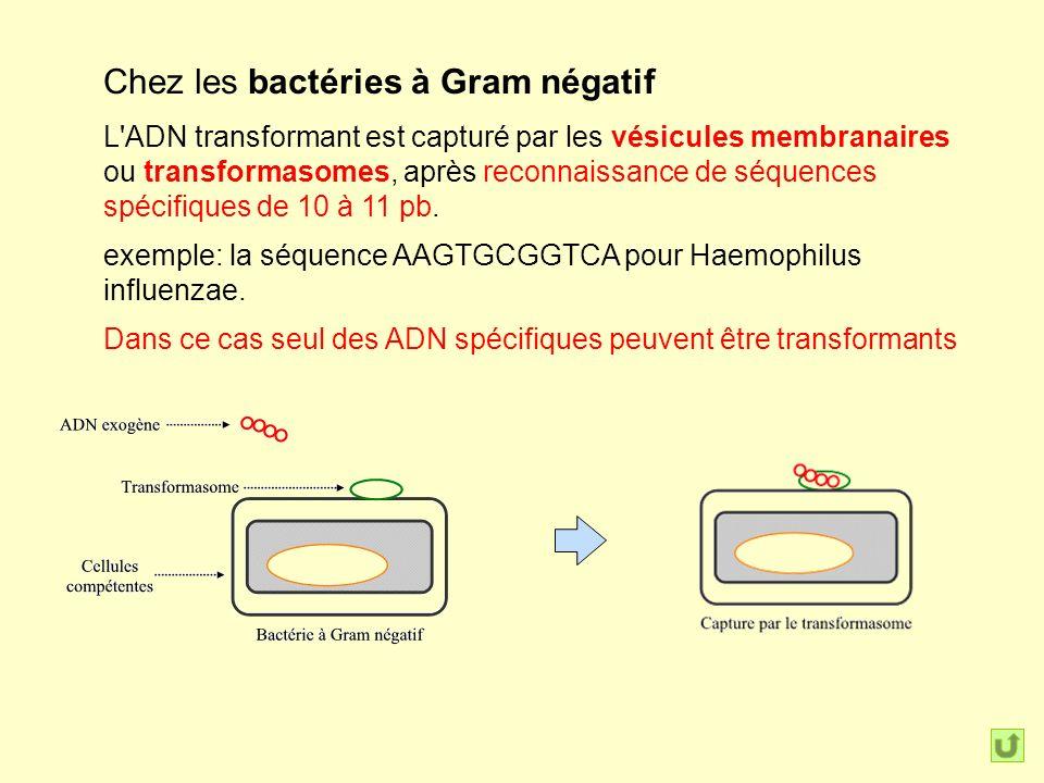 Chez les bactéries à Gram négatif