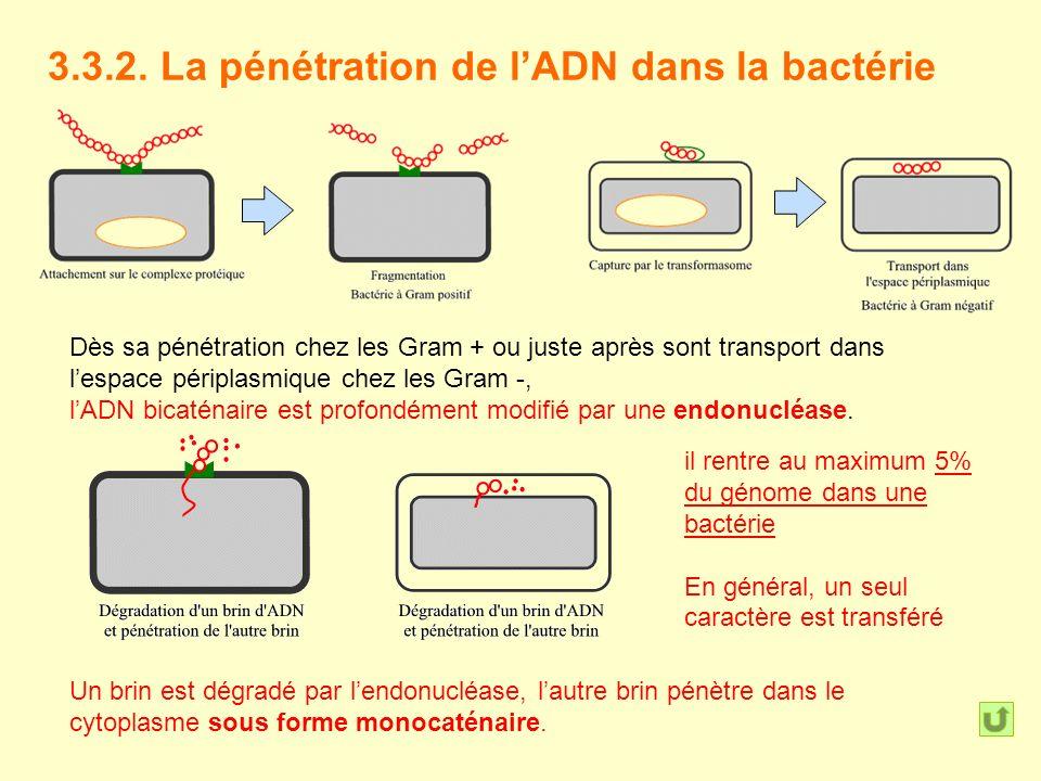 3.3.2. La pénétration de l'ADN dans la bactérie