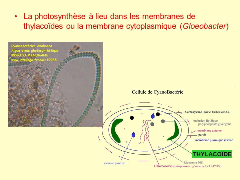 La photosynthèse à lieu dans les membranes de thylacoïdes ou la membrane cytoplasmique (Gloeobacter)
