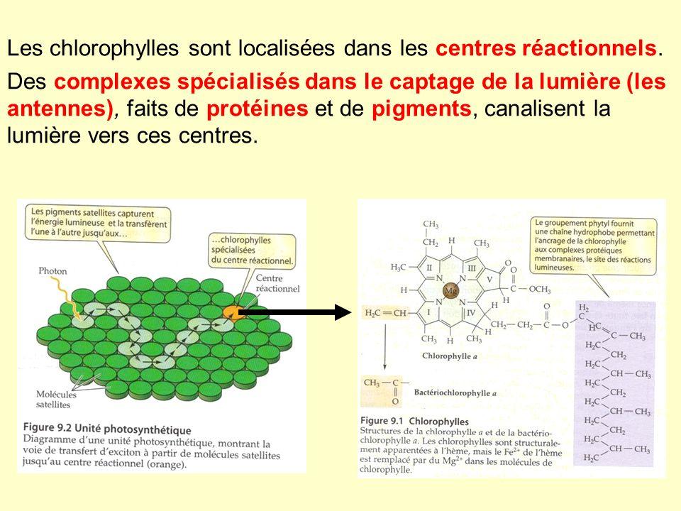 Les chlorophylles sont localisées dans les centres réactionnels