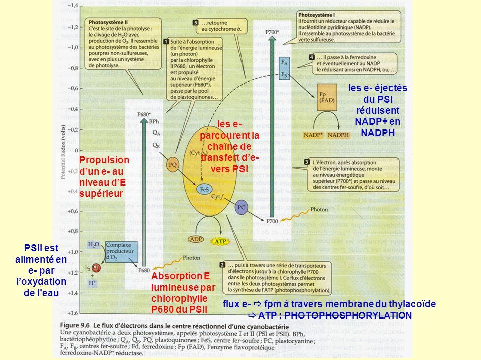 les e- éjectés du PSI réduisent NADP+ en NADPH