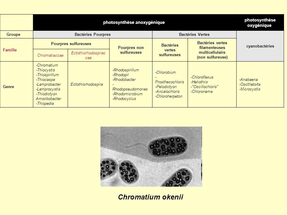 Chromatium okenii photosynthèse oxygénique photosynthèse anoxygénique