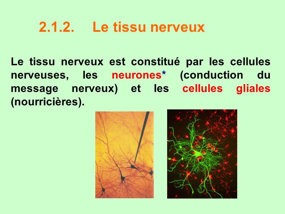 2.1.2. Le tissu nerveux