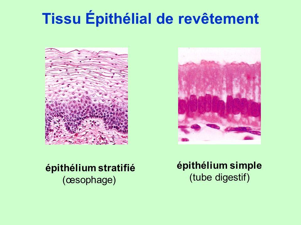 Tissu Épithélial de revêtement