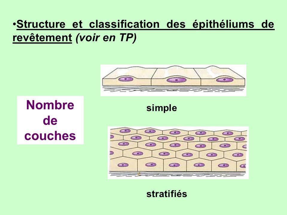 Structure et classification des épithéliums de revêtement (voir en TP)