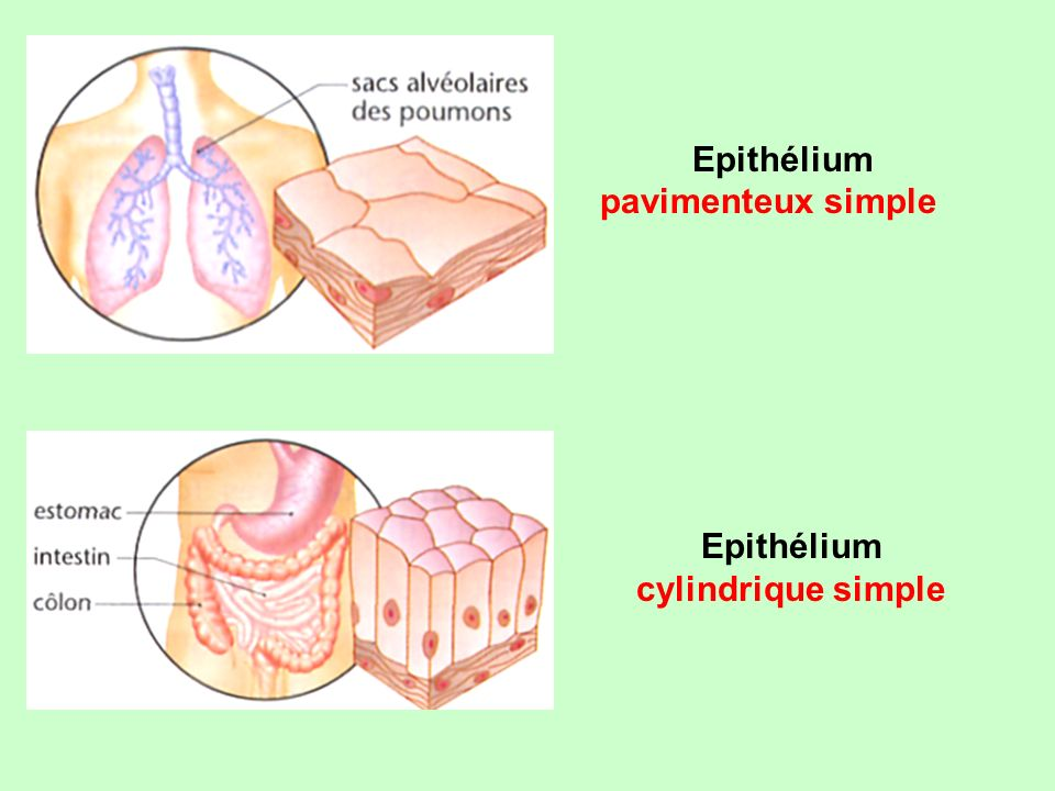Epithélium pavimenteux simple Epithélium cylindrique simple