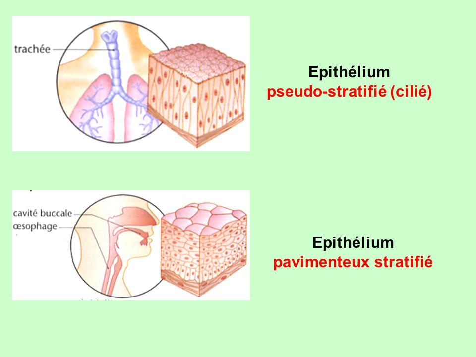pseudo-stratifié (cilié) pavimenteux stratifié