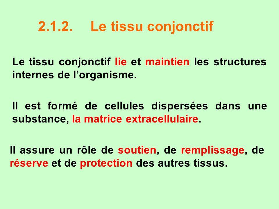 2.1.2. Le tissu conjonctif Le tissu conjonctif lie et maintien les structures internes de l'organisme.