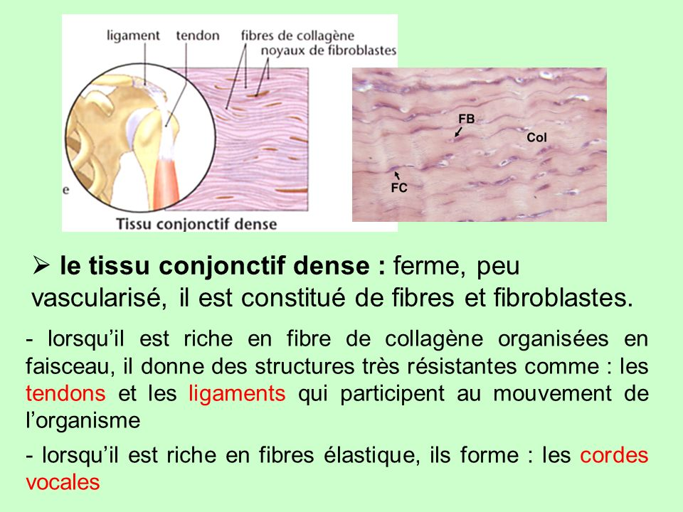  le tissu conjonctif dense : ferme, peu vascularisé, il est constitué de fibres et fibroblastes.